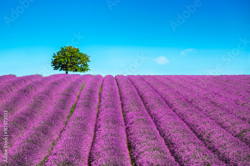 Fototapety, obrazy : Lavender and lonely tree uphill. Provence, France