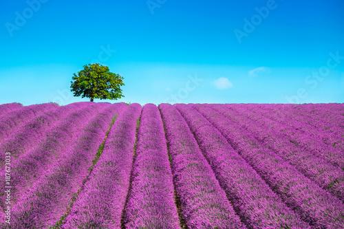 Zdjęcia na płótnie, fototapety na wymiar, obrazy na ścianę : Lavender and lonely tree uphill. Provence, France