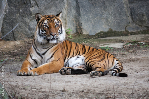 bengal tiger lying on the ground Poster