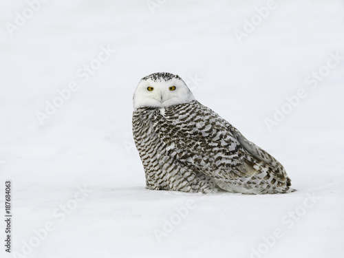 Snowy Owl Female Sitting on Snow