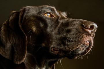 Closeup of a German Shorthair Pointer Hunting Dog