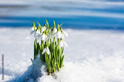 Fototapeta Snowdrops rising from the snow and ice