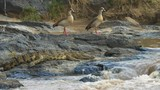 pair of egyptian geese and a crocodile by the edge of the mara river in masai mara game reserve, kenya - 187695625