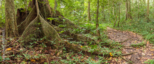Buttress tree roots in rainforest Borneo Malaysia - 187701833