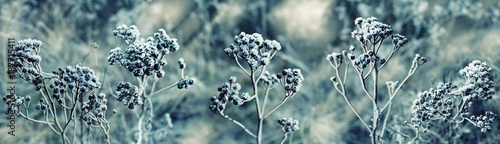 Winter. Frozen plant in the snow. Background image.