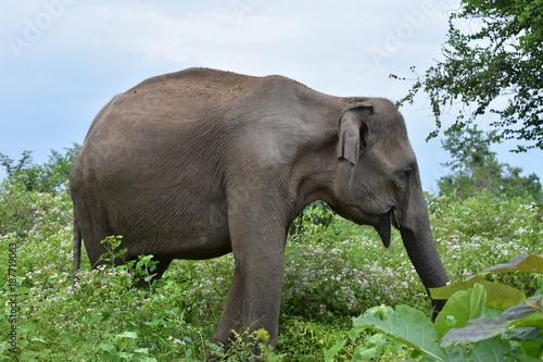 ELEPHANT AU SRI LANKA Poster