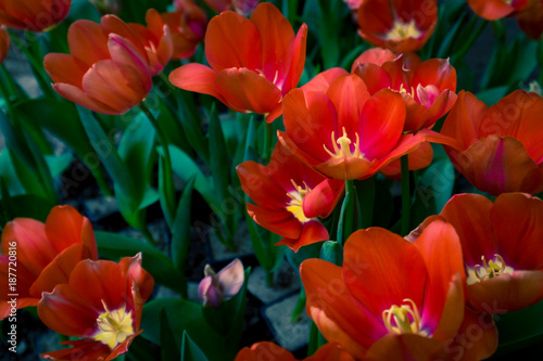 Fotobehang Tulpen Spring scenes of red tulips blooming flowers in the garden with colorful tulip soft nature background and wallpaper