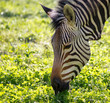 Zebra on green grass in nature