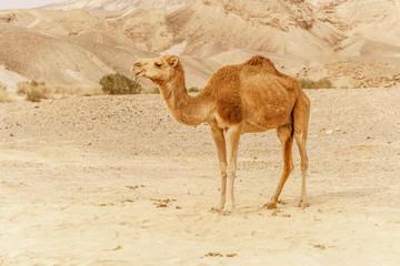 Camel walking through wild desert dune. Safari travel to sunny dry wildernes