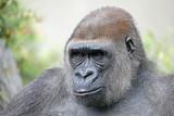 Female gorilla portrait - 187726647