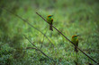 Green bee eater birds