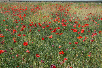 Red poppy flowers on the field, spring and summer time.