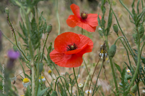 Red poppy flowers on the field close up - 187736416