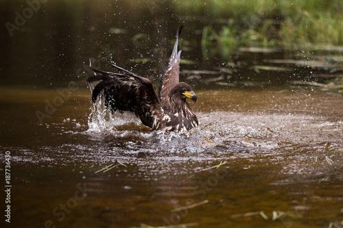 Plexiglas Eagle Seeadler badend