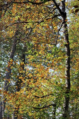 Foto Murales Feuillages d'automne en forêt de Fontainebleau
