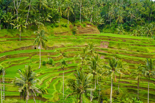 In de dag Rijstvelden View of the Tegallalang rice terrace and Subak (irrigation system) in Ubud, Bali, Indonesia.