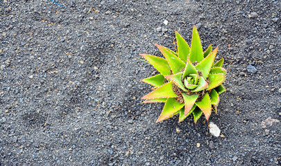 aloe vera, Lanzarote, Canary Islands, Spain