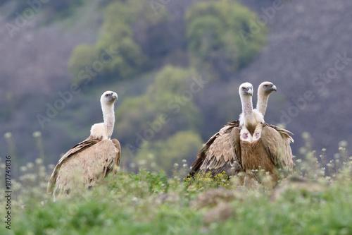 Three Griffon Vultures Sitting on the Ground - 187749836