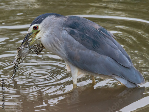 Foto Murales Black-crowned Night Heron