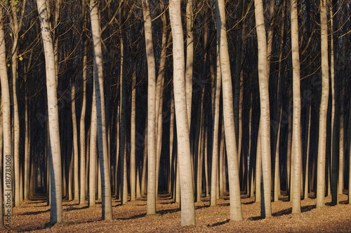Poplars at sunset - 187783068