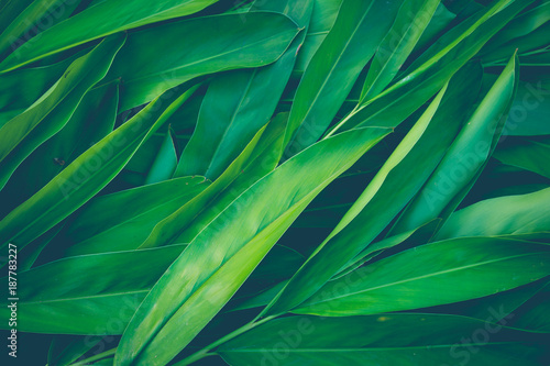 Foto Murales Fresh tropical Green leaves background