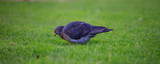 Pigeon, dove, looking for food in green grass. Close up view with details. Blurred background.