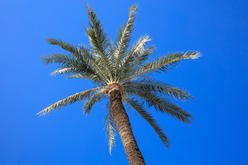 Coconut palm tree with a clear blue sky background. Photo from under.