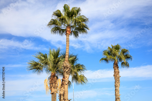 Papiers peints Chypre Coconut palm trees at Cyprus with blue and cloudy sky background. Photo from under.