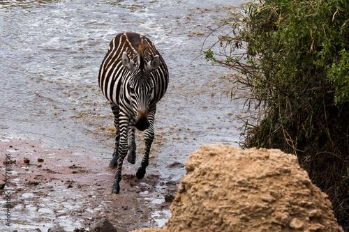 Zebra (Equus quagga) Poster