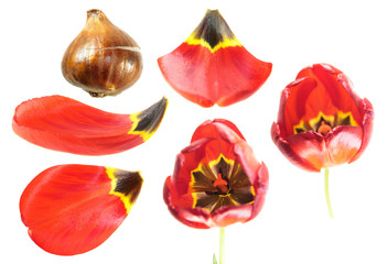 Red tulip flower with tulip bulb and petals closeup isolated on white background