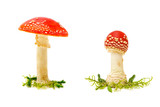 Fly agaric or fly Amanita mushroom on a white background