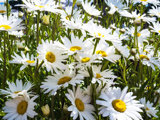 many daisy flowers of flowerbed