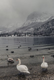 Swans. Mountain and lake.