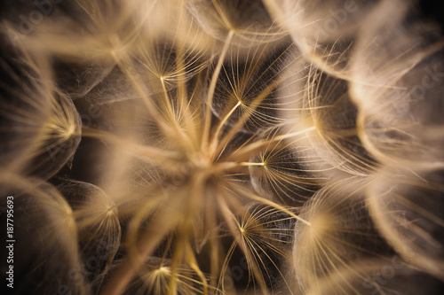 Abstract macro photo of a dandelion on black background.
