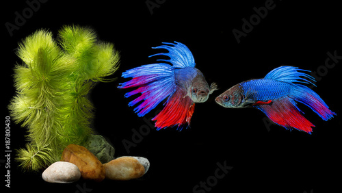 Foto Murales Betta splendens - siamese fighting fish on a black background