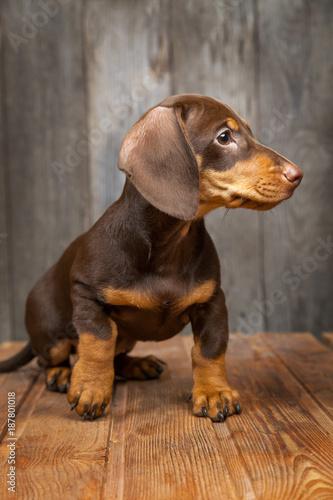 puppy dog breed dachshund on wood background - 187801018