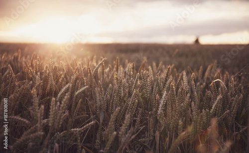 fototapeta na ścianę Field of Wheat