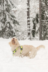 White young wire-haired dog of spinone italiano breed is happily frolicking in the deep snow in the forest