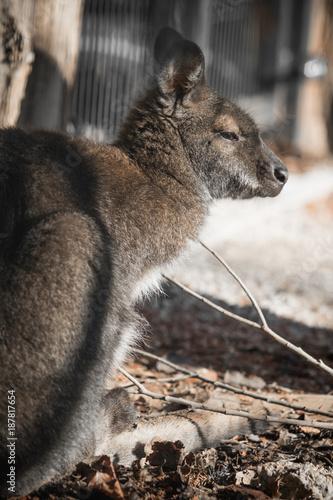 Fotobehang Kangoeroe portrait of cute red necked wallaby kangaroo