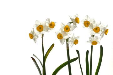 水仙の花 白バック