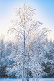 The branches of deciduous trees, birch in the snow and frost closeup on the background of bright blue sky in the rays of the winter sun, winter landscape
