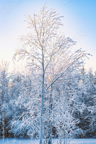 The branches of deciduous trees, birch in the snow and frost closeup on the background of bright blue sky in the rays of the winter sun, winter landscape - 187837062