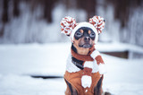 Cute puppy, dog, toy terrier in scarf, portrait macro, new year, christmas. There is a white fluffy snow. Christmas card, winter team