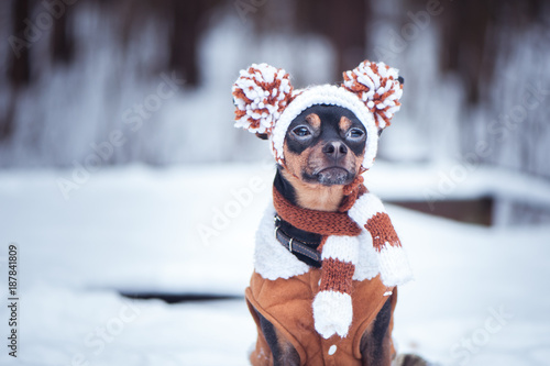 Fototapeta Cute puppy, dog, toy terrier in scarf, portrait macro, new year, christmas. There is a white fluffy snow. Christmas card, winter team