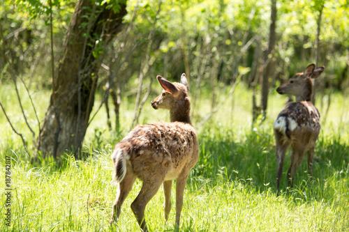 Aluminium Hert A deer walks in the forest in the summer