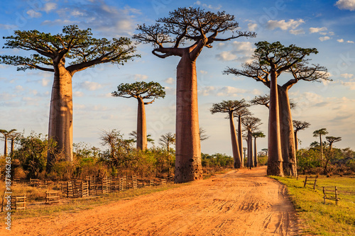 Beautiful Baobab trees at sunset at the avenue of the baobabs in Madagascar - 187846263