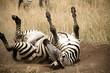 Zebra Lying on it's Back