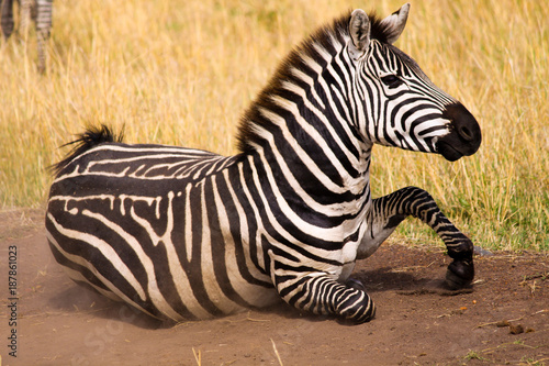 Zebra Lying on its Belly