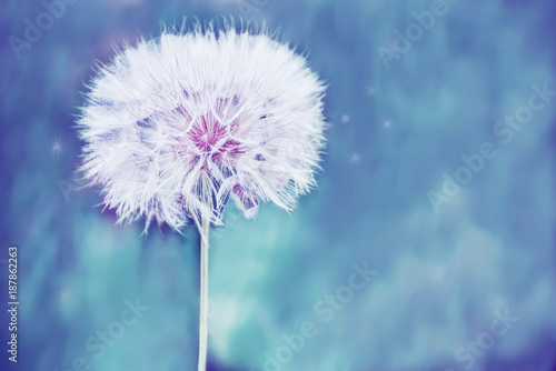 A huge fluffy white dandelion flower ball. Close-up. soft bright backdrop. Lots of free space. soft focus.