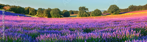 Lavender field in the morning - 187867435